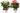 Anthurium White en Pink Champion